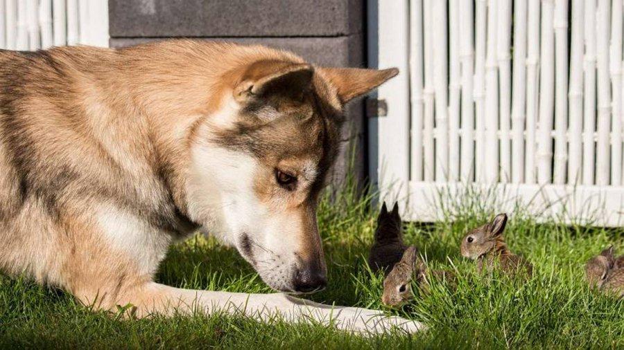 德国牧羊犬帮主人照看受伤的兔子